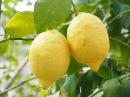 Как выращивать цитрусовые в домашних условиях