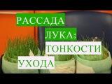 Лук из Семян. Тонкости Дальнейшего Ухода.  (15.03.17 г. )