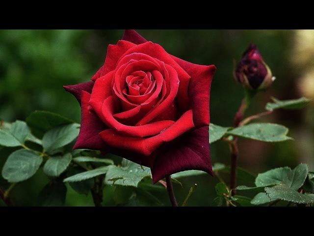 Расцветающая красота музыка и слова Шри Чинмоя Blue flower Tomar Sate Khelbo