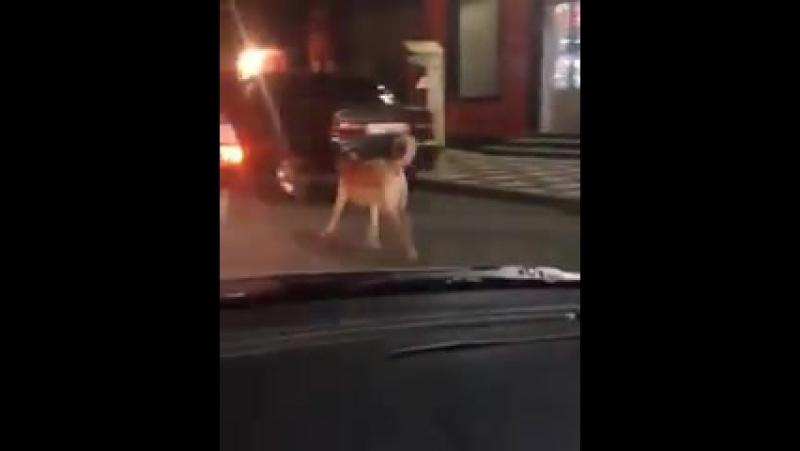 Вот так выгуливают собаку в Буйнакске