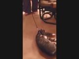 Кот притворщик ...
