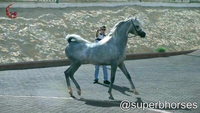 Sabea AL Muawd (WH Justice x Falcon Song BHF)