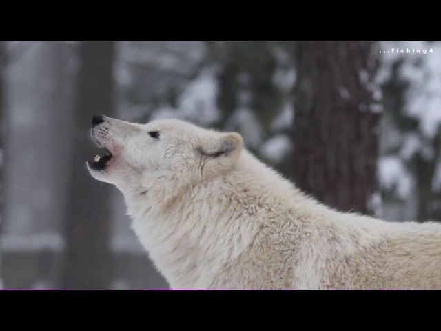 Вой полярных волков Очень Красиво воют