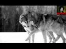 Легенда о волке и волчице стихотворение