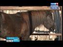 Бродячие собаки загрызли пони в Ангарске, «Вести-Иркутск»