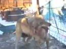 Собачьи бои Питбуль VS Волк