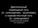 Двигательный пирамидный путь (схема, центры, нейроны) -