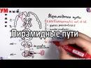 Пирамидные пути - tractus corticospinalis et corticonuclearis -