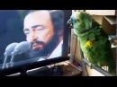 Попугай поёт дуэтом с Лучано Поваротти
