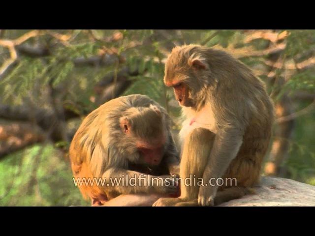 Rhesus macaque / Макак-резус / Macaca mulatta