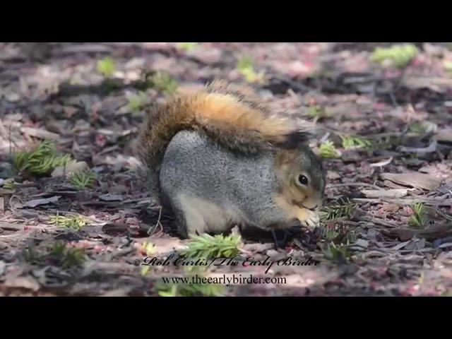 Fox squirrel / Лисья белка / Sciurus niger