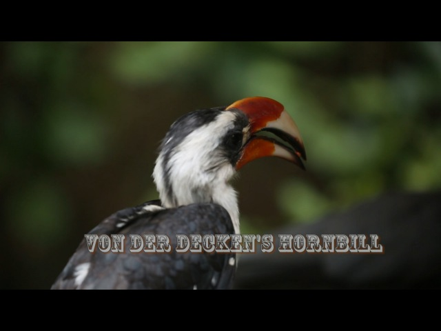 Von der Decken's hornbill / Черноклювый ток, или Джексонов ток / Tockus deckeni