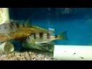 Limnochromis Auritus with fry