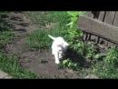 Снежок играет с кошкой№2