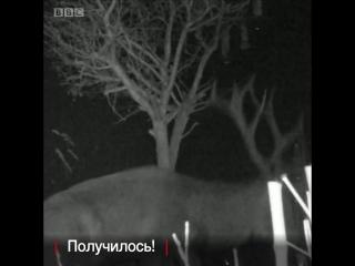 Изобретательный олень из графства Сомерсет