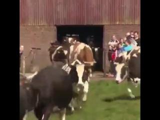 Довольные коровы впервые вышли на улицу после зимы