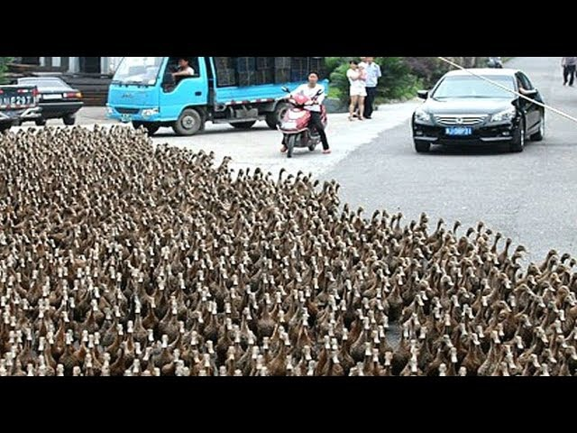 DUCK ARMY Videos Compilation || NEW