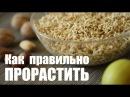 🔥 Проращивание зеленой гречки | Лучший способ как проращивать зеленую гречку | Дмитрий Компаниец