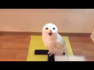 Laughing Owl - когда нашел смешной коуб