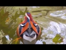 Mandarin Duck Wood Ducks in the