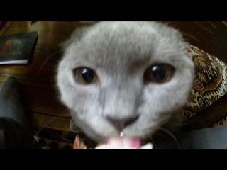 Кот-британец КЕША...мой кот, любит мороженое))