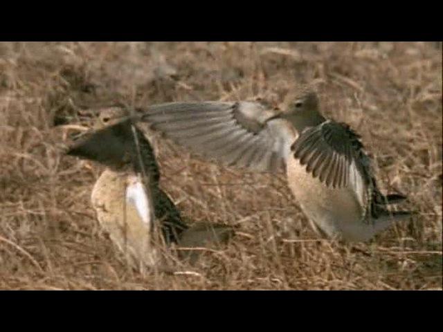 BBC: Жизнь птиц: Поиск партнера / 7 серия