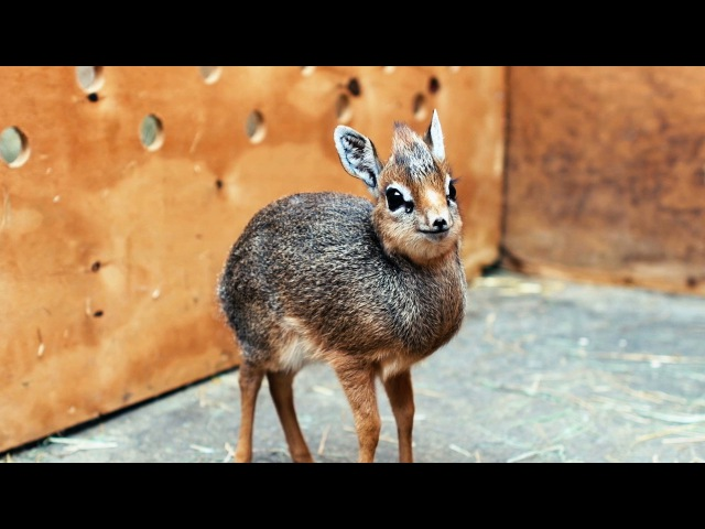 Adorable Baby Dik-Dik Antelope Is Only 19cm Tall: ZooBorns