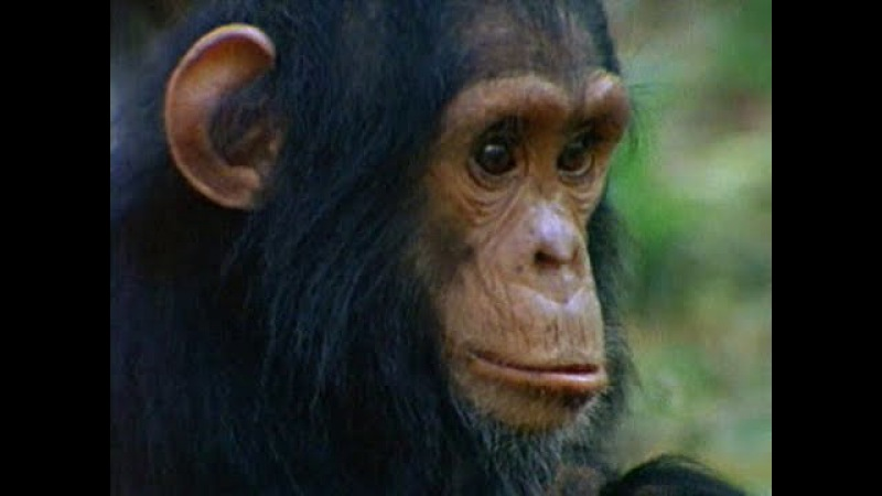 Among the Wild Chimpanzees Full Documentary with subtitles
