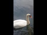 Лебеди в Воронцовском парке. Ялта. Крым.