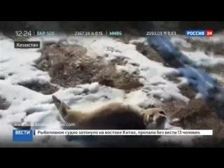 Детеныш нерпы заблудился в казахстанской степи