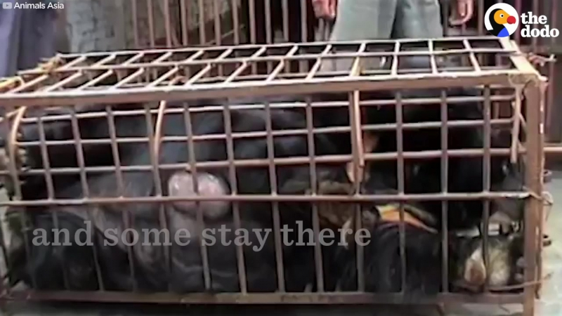 Bear Farmed For Bile Using Torture Vest is Finally Free - The Dodo