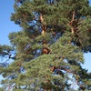 Миллиард деревьев Сибири!