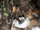 Маймунка мие съдове също като човек