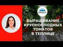 Выращивание крупноплодных томатов в теплице