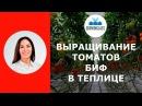 Выращивание биф-томатов в теплице