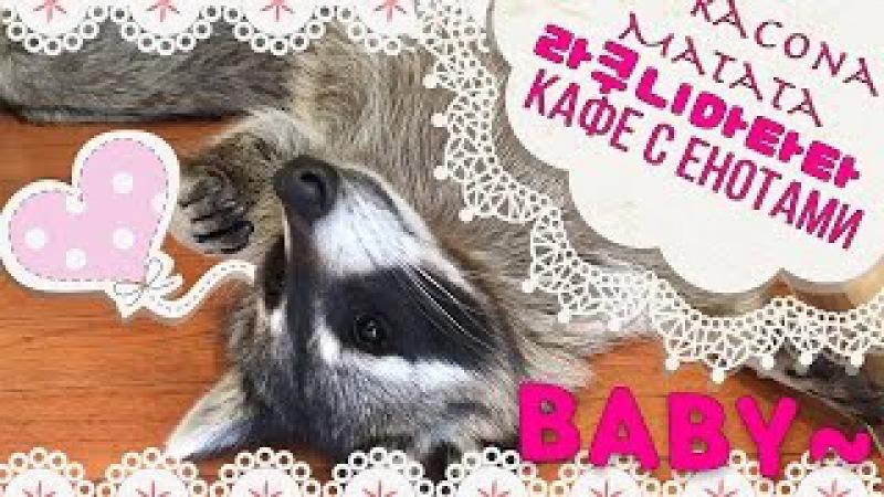 라쿠나마타타 | Ракуна Матата Детка || Raccoon Cafe in Korea - Racoona Matata Baby~