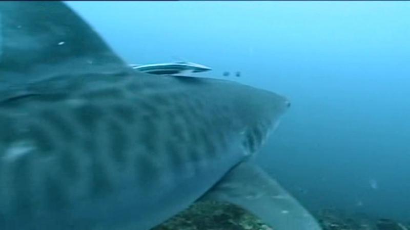 Серия 02. 10 самых опасных акул / Ten Deadliest Sharks (2001)