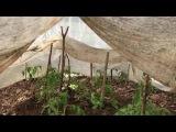 Секреты посадки рассады томатов в грунт . 100 приживаемость