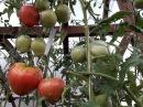 Дела огородные 12 сентября/Убираю помидоры и сею сидераты/ Очистили траву между п...