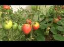 Обзор моей теплицы с томатами июль 2016 г