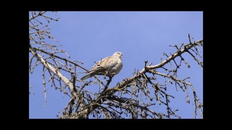 Кольчатая горлица   Collared dove   Streptopelia decaocto