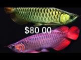 Топ 10 самых дорогих рыб в мире