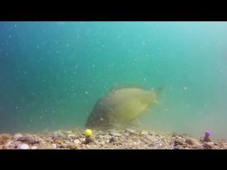 Карпфишинг. Красивейшие подводные съемки. carp fishing,underwater