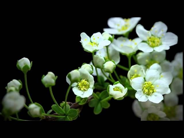 Как растут цветы Очень красивая макросъемка