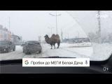 Как Google поможет объехать верблюда на дороге