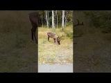 Северный олень гуляет под Петрозаводском