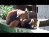Мимимишные красные панды (6 sec)