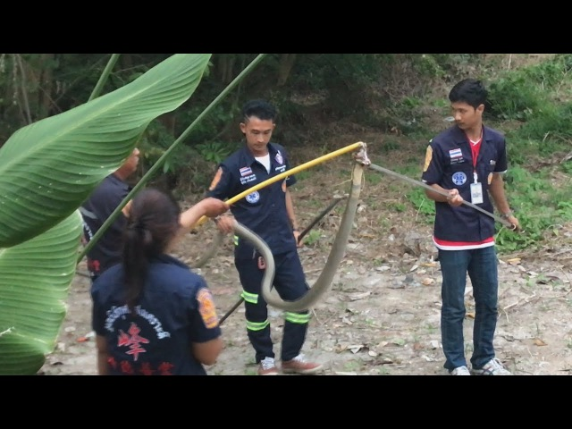 King Cobra caught near the Villa on Samui| Королевскую кобру поймали рядом с виллой на Самуи