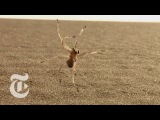 Tumbling Spider Newly Discovered Species Flips Out of Danger ScienceTake The New York Times