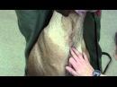 Фиксация большой собаки при пункции ярёмной вены / Jugular restraint with venipuncture on large dog